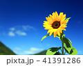 ひまわり 花 夏の写真 41391286
