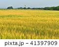 麦畑 麦秋 朝の写真 41397909