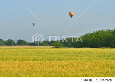 広大な麦畑と気球 渡良瀬遊水地 41397920
