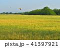 麦畑 麦秋 朝の写真 41397921
