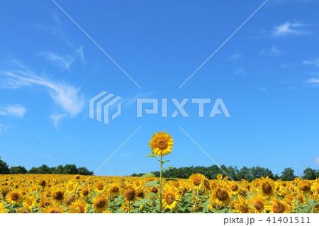 北海道 夏の青空と元気に咲くひまわり 41401511