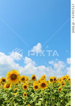 北海道 夏の青空とひまわりたち 41401517