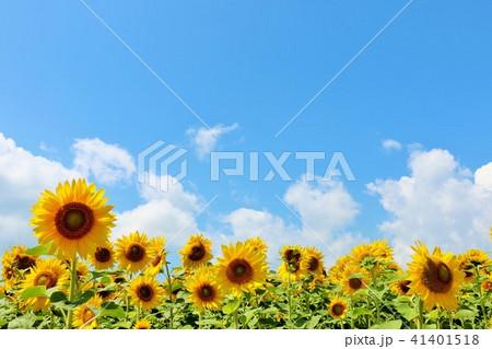 北海道 夏の青空とひまわりたち 41401518