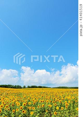 北海道 夏の青空とひまわり 41401519