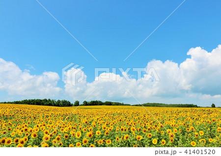 北海道 夏の青空とひまわり 41401520