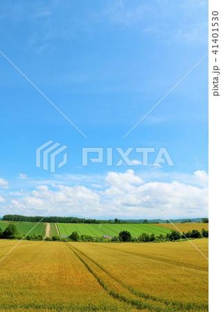 北海道 青空と広大な麦畑 41401530