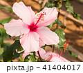 ハイビスカス 花 植物の写真 41404017
