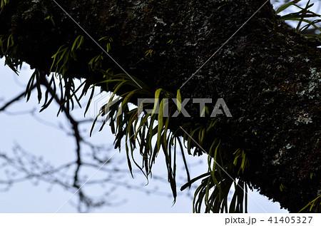 木の幹に寄生する植物 41405327