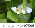 蜘蛛 クモ 紫陽花の写真 41407506
