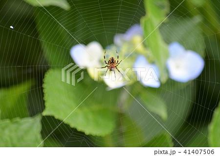 蜘蛛とアジサイ 41407506