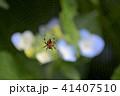 蜘蛛 クモ 紫陽花の写真 41407510