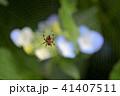 蜘蛛 クモ 紫陽花の写真 41407511