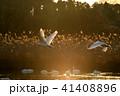 夕暮れ 飛翔 白鳥の写真 41408896