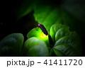 ゲンジボタル 蛍 光るの写真 41411720