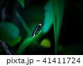 ゲンジボタル 蛍 光るの写真 41411724