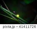 ゲンジボタル 蛍 光るの写真 41411726