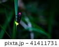 ゲンジボタル 蛍 光るの写真 41411731
