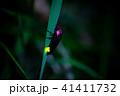 ゲンジボタル 蛍 光るの写真 41411732
