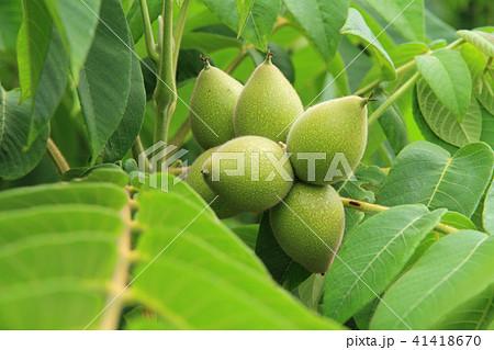 オニグルミの果実 41418670