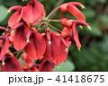 亜米利加梯梧 カイコウズ 海紅豆の写真 41418675