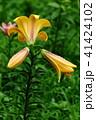 植物 花 百合の写真 41424102