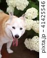 笑顔で見つめる犬と紫陽花 41425546