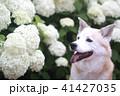 笑顔の犬と紫陽花の花 41427035