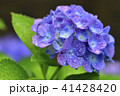 紫陽花 アジサイ 花の写真 41428420