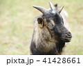 山羊 41428661