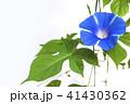 朝顔 植物 夏の写真 41430362