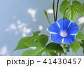 朝顔 植物 夏の写真 41430457