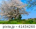 桜 花 植物の写真 41434260