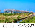 郡川 桜 花の写真 41434287