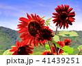 ひまわり大野原 ブラッドレッド 向日葵の写真 41439251