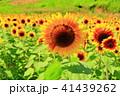 ひまわり大野原 向日葵 夏の写真 41439262