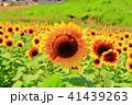 ひまわり大野原 向日葵 夏の写真 41439263