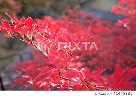 秋の紅葉が彩る赤い紅葉 41445339