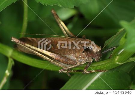 生き物 昆虫 タイワンクツワムシ、南方系の巨大なバッタ。足元でゴソゴソされるとびっくりします 41445940