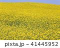 菜の花 41445952
