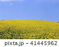 菜の花 41445962