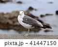 カモメ 鳥 野鳥の写真 41447150