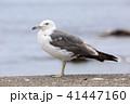 カモメ 鳥 野鳥の写真 41447160