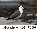 カモメ 鳥 野鳥の写真 41447166