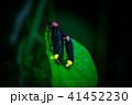ゲンジボタルの交尾 41452230