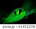 源氏蛍 蛍 発光の写真 41452238