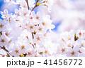 桜 花 春の写真 41456772