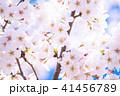 桜満開 41456789