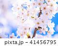 桜 花 開花の写真 41456795