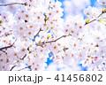 桜 花 開花の写真 41456802