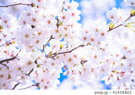 桜満開 41456802